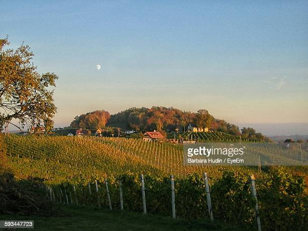 Scenic View Of Vineyard Against Clear Sky