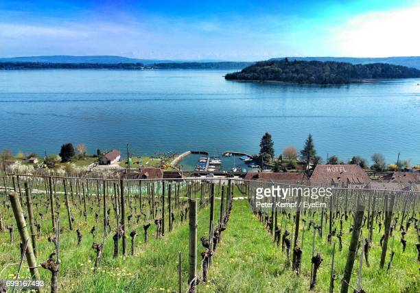 Scenic View Of Vineyard Against Sea