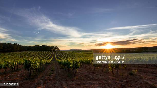 scenic view of vineyard against sky during sunset - wine vineyard stock photos and pictures