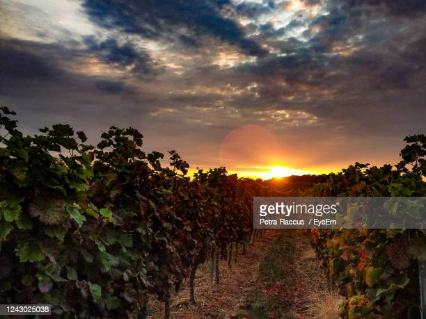 scenic view of vineyard against sky during sunset - moody sky stock pictures, royalty-free photos & images