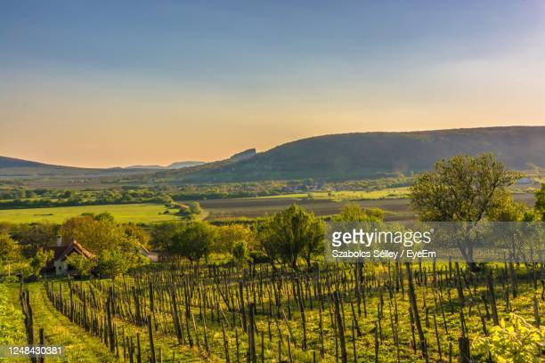 scenic view of vineyard against sky during sunset - hungary stock pictures, royalty-free photos & images