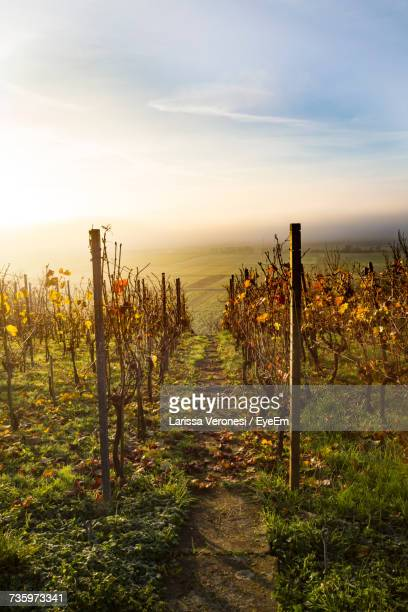 Scenic View Of Vineyard Against Sky During Sunset