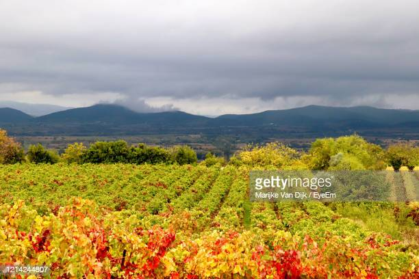 scenic view of vineyard against sky - van dijk stock pictures, royalty-free photos & images