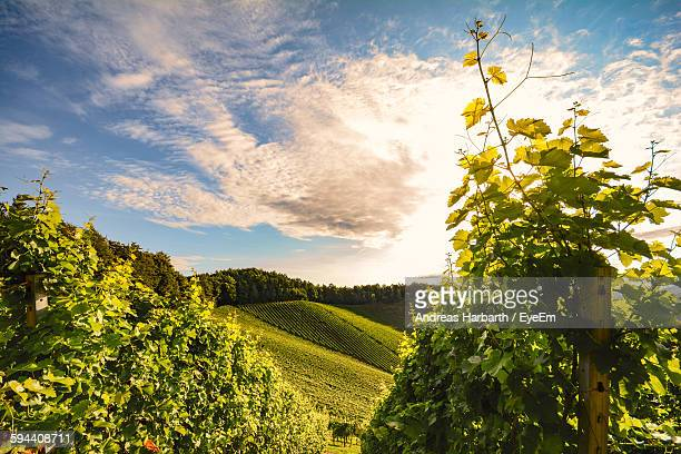 scenic view of vineyard against sky - graz stock photos and pictures