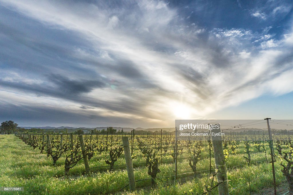 Scenic View Of Vineyard Against Sky : Stock Photo