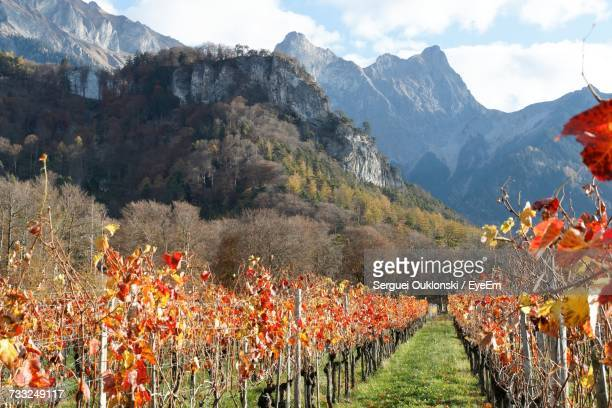scenic view of vineyard against sky - bad ragaz stock pictures, royalty-free photos & images
