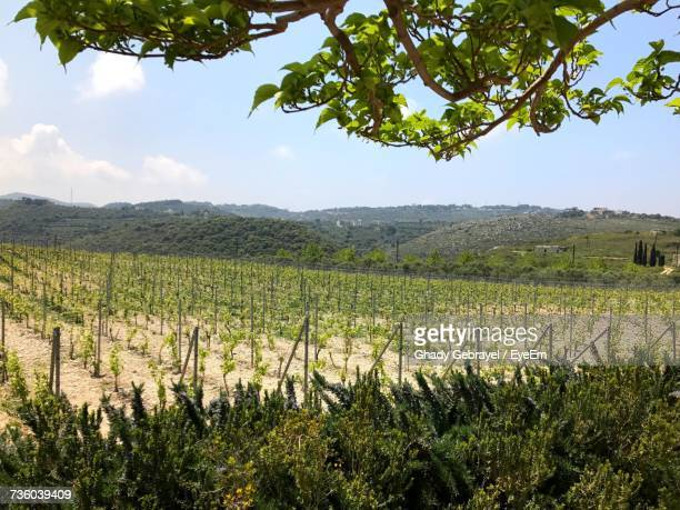 scenic view of vineyard against sky - lebanon country stock pictures, royalty-free photos & images