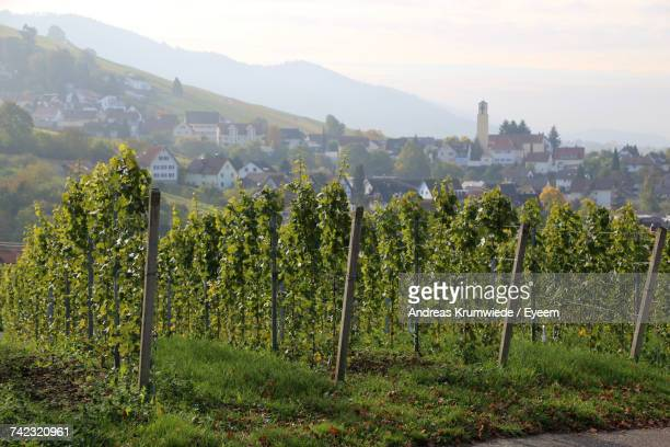 scenic view of vineyard against sky - baden württemberg stock pictures, royalty-free photos & images