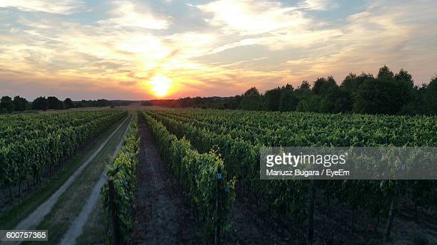 Scenic View Of Vineyard Against Sunset Sky
