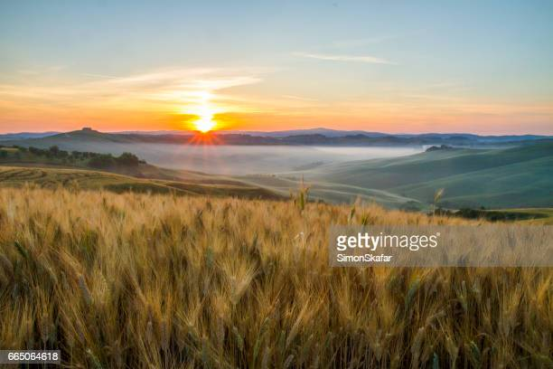 Scenic view of wheat crops growing in fields