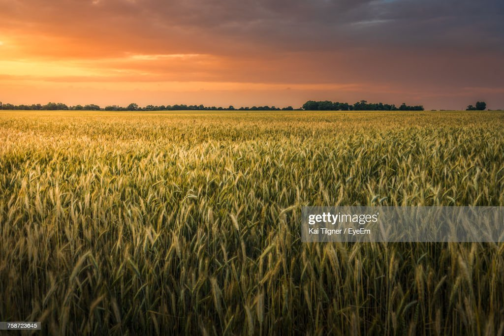 Scenic View Of Wheat Field Against Sky During Sunset : Foto de stock