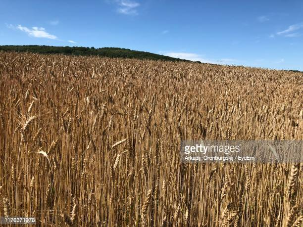 scenic view of wheat field against sky - オレンブルク州 ストックフォトと画像