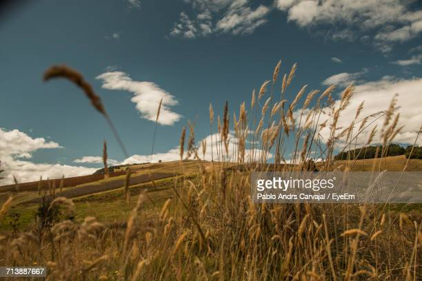 scenic view of wheat field against sky - carvajal stock photos and pictures