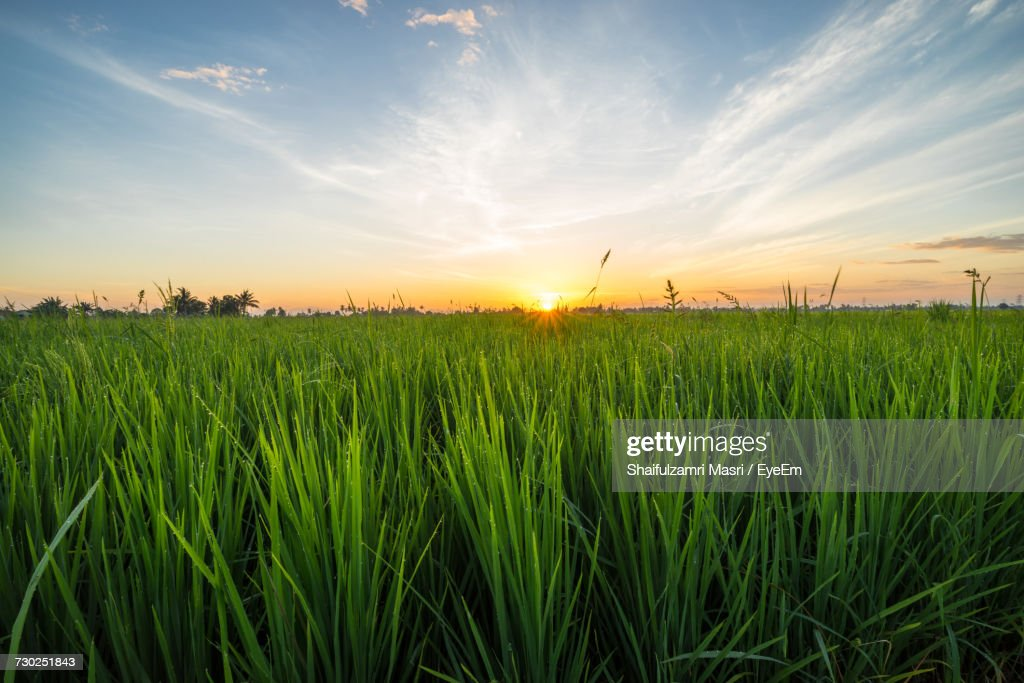Scenic View Of Wheat Field Against Sky : Stock Photo