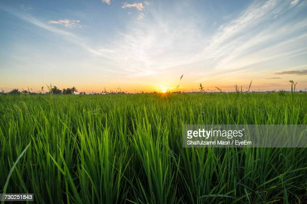 scenic view of wheat field against sky - shaifulzamri eyeem stock pictures, royalty-free photos & images