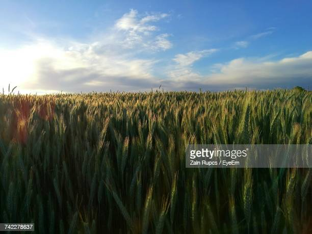 scenic view of wheat field against sky - luton stock pictures, royalty-free photos & images