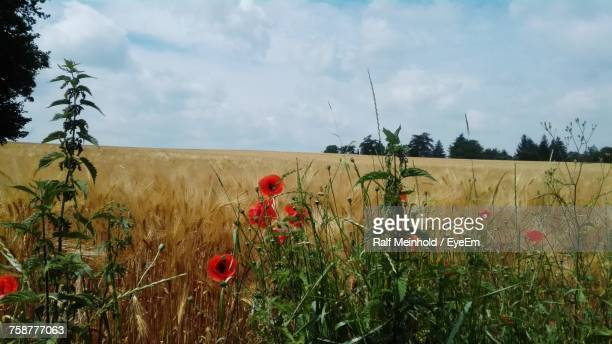 Scenic View Of Wheat Field Against Sky