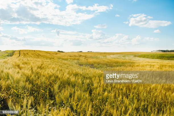 scenic view of wheat field against sky - prairie stock pictures, royalty-free photos & images