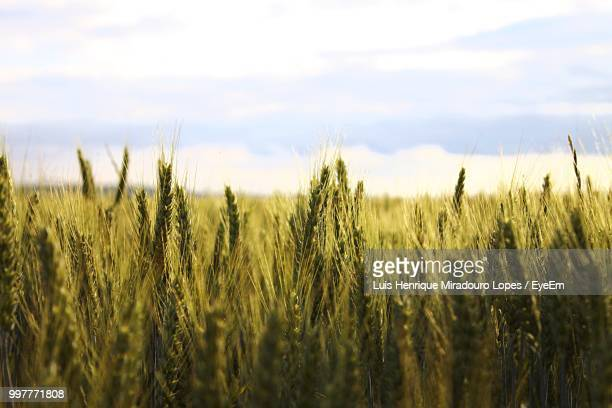 scenic view of wheat field against sky - wheat stock pictures, royalty-free photos & images