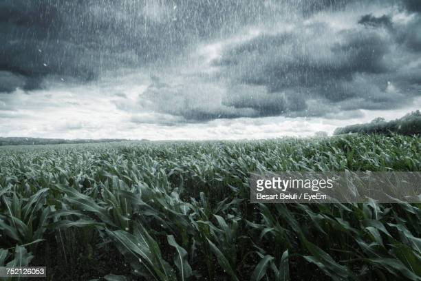 scenic view of wheat field against storm clouds - heavy rain stockfoto's en -beelden
