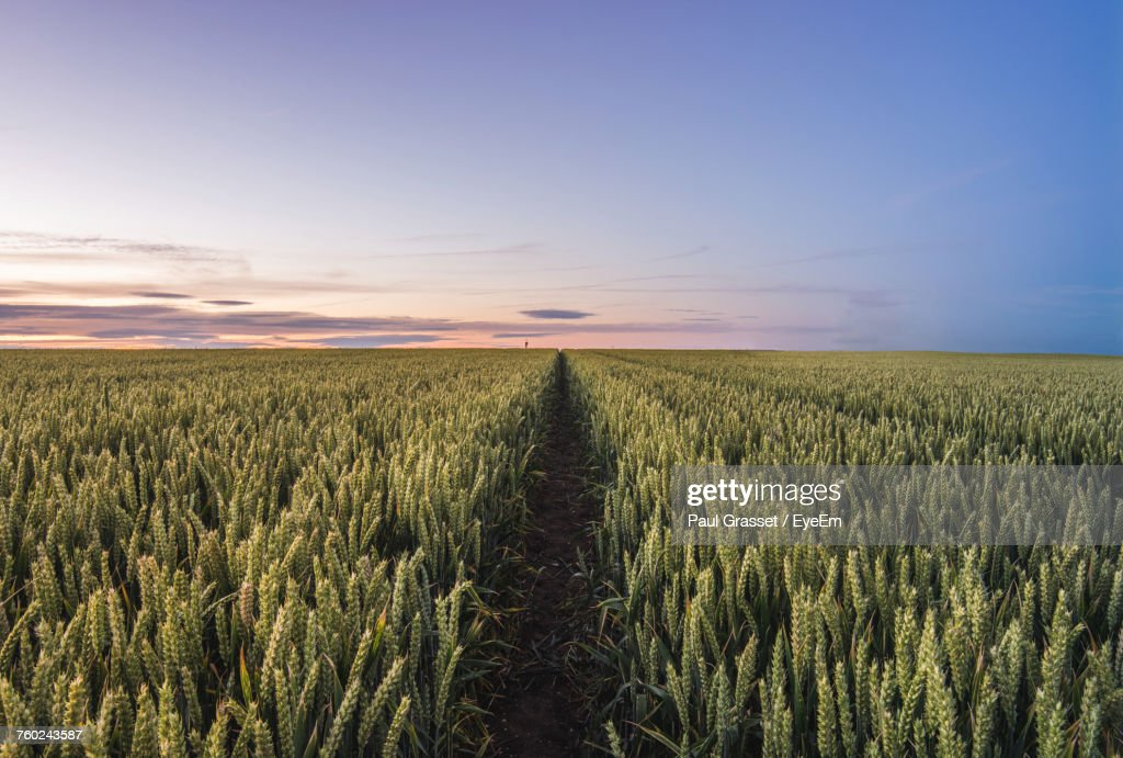 Scenic View Of Wheat Field At Sunset : Foto de stock