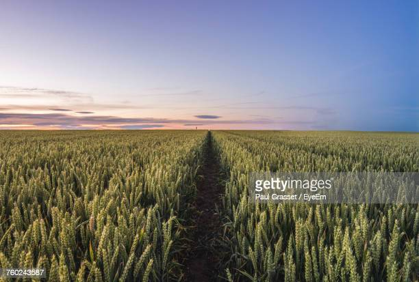 scenic view of wheat field at sunset - wheat grain stock photos and pictures