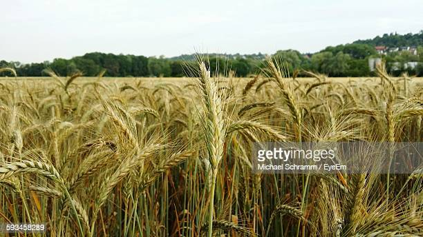 Scenic View Of Wheat Growing At Farm Against Clear Sky