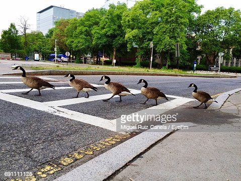 Scenic View Of Wild Geese In A Row Crossing Road