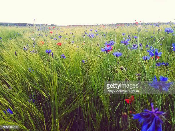 Scenic View Of Wildflowers With Wheat Crops In Field
