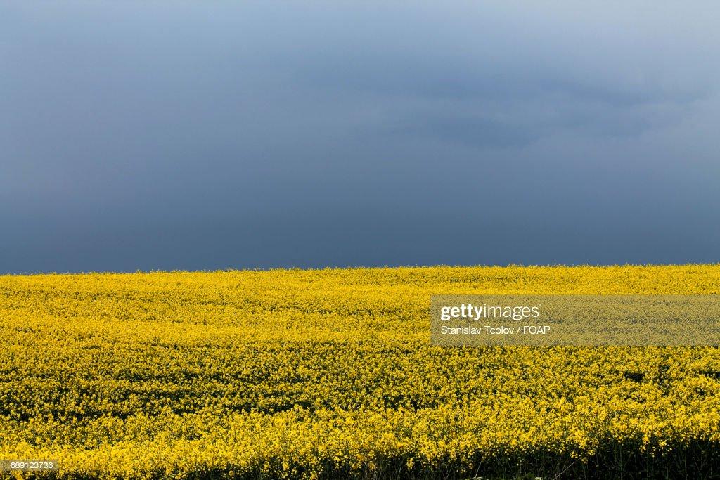 Scenic view of yellow field : Stock Photo