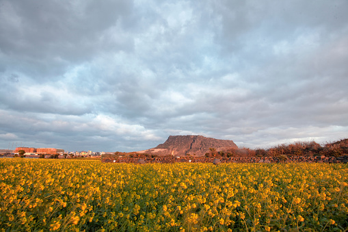 Scenic View Of Yellow Flower Field Against Cloudy Sky - gettyimageskorea