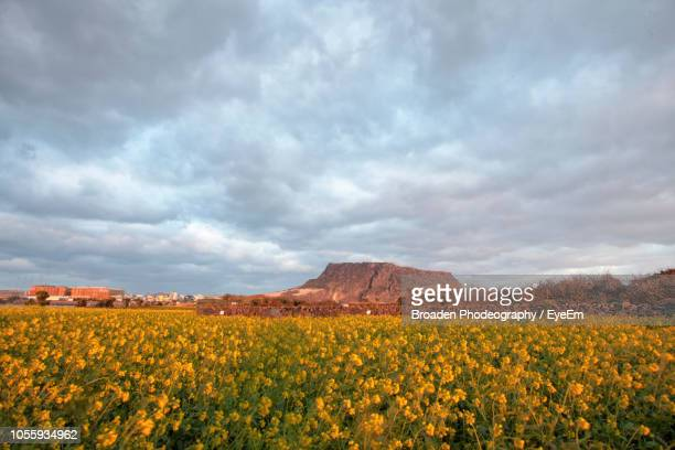 scenic view of yellow flower field against cloudy sky - jeju stock photos and pictures