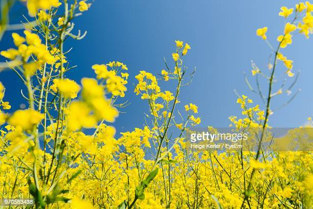 scenic view of yellow flowering plants against sky - brassica stock photos and pictures
