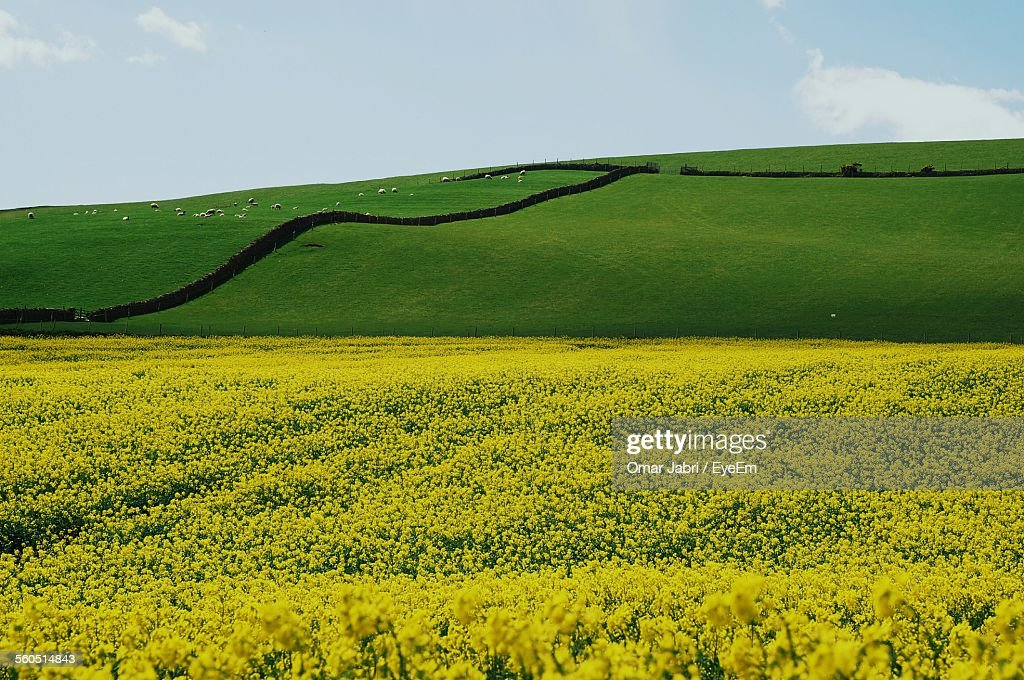 Scenic view of yellow flowers with grass in farm against sky stock scenic view of yellow flowers with grass in farm against sky stock photo mightylinksfo