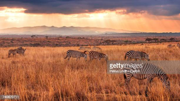 scenic view of zebras grazing in field against sky during sunset - nairobi stock pictures, royalty-free photos & images