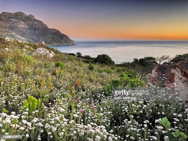 scenic wildflowers over the ocean - stock photo - província do cabo ocidental imagens e fotografias de stock