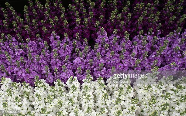 Scented stocks are pictured on the first public day of the Chelsea Flower Show on May 19 2015 in London England The show which has run annually since...