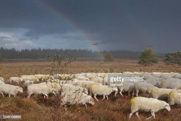 schaapskudde met regenboog en helicopters - gelderland stock pictures, royalty-free photos & images
