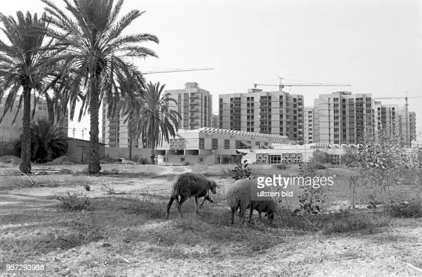 Schafe am Rande der libyschen Hauptstadt Tripolis vor neuen Wohnbauten und Baukränen, aufgenommen imSeptember 1979. In den wichtigen Städten des...