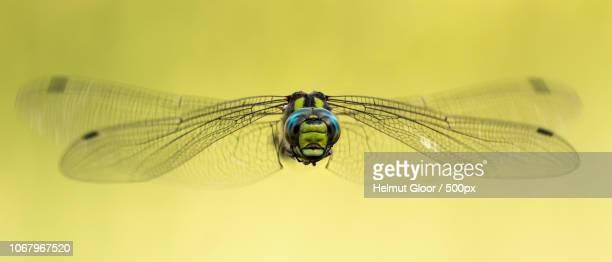 schafisheim, switzerland - dragonfly stock-fotos und bilder
