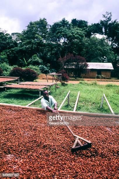 Séchage de la récolte de cacao à Ebolowa Cameroun