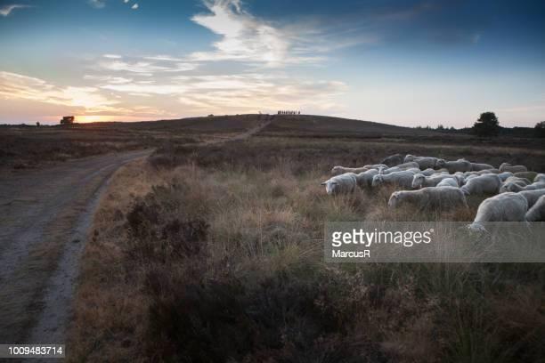 schapen grazen bij zonsondergang - zonsondergang stock pictures, royalty-free photos & images