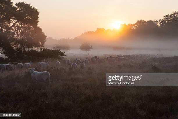 schapen grazen bij zonsopgang - zonsopgang stock pictures, royalty-free photos & images