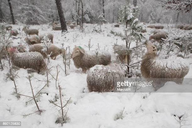 Schapen in de diepe sneeuw
