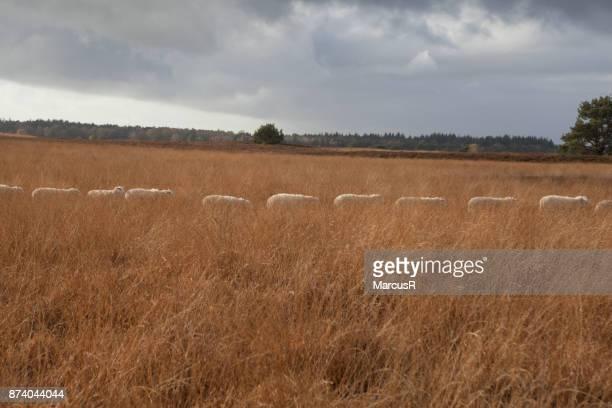Schapen in de rij door hoog gras