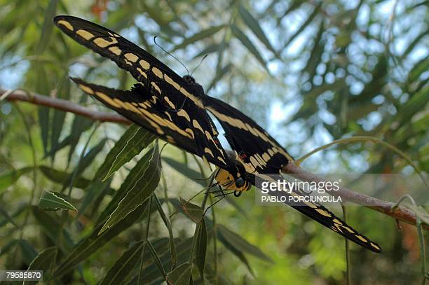 Schaus' Swallowtail butterflies copulate in the branch of an Anacahuita in Pinamar some 40km east of Montevideo on February 6 2008 AFP PHOTO/Pablo...