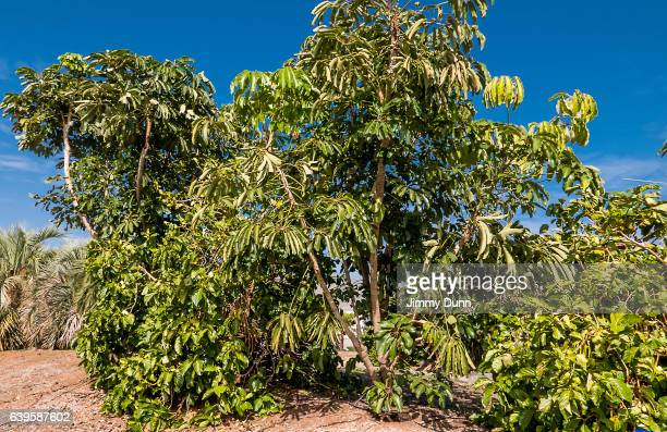 schefflera actinophylla - queensland umbrella tree stock pictures, royalty-free photos & images