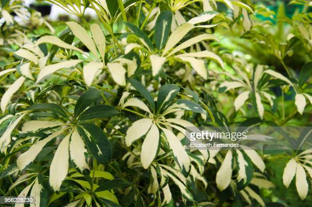 schefflera arboricola - queensland umbrella tree stock pictures, royalty-free photos & images