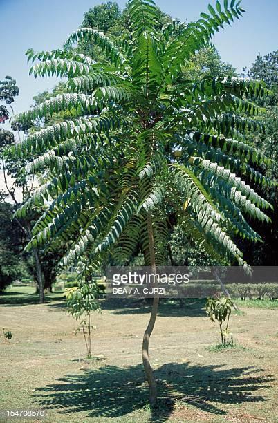 Schefflera fastigiata, Araliaceae.