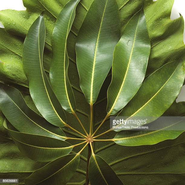 schefflera leaves - queensland umbrella tree stock pictures, royalty-free photos & images